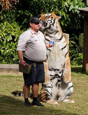 impresionante foto de tigre con su cuidador