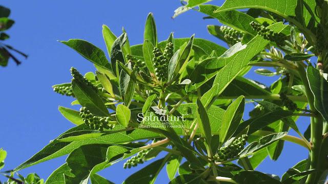 Ombusillo Phytolacca tetramera