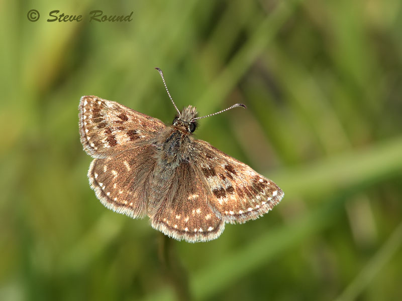 dingy skipper, butterfly, butterflies, nature, wildlife