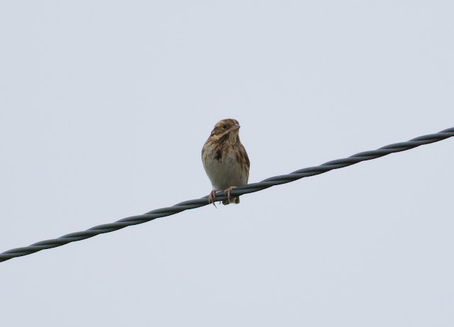 Rustic Bunting - Spurn, Yorkshire