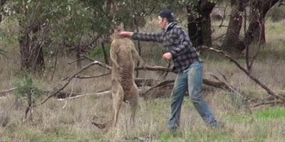Άνδρας δίνει μπουνιά σε καγκουρό για να σώσει τον σκύλο του!