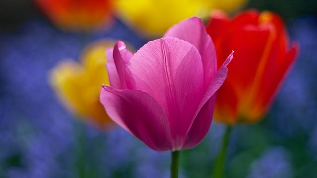 hoa tulip hồng, tím đẹp nhất 1