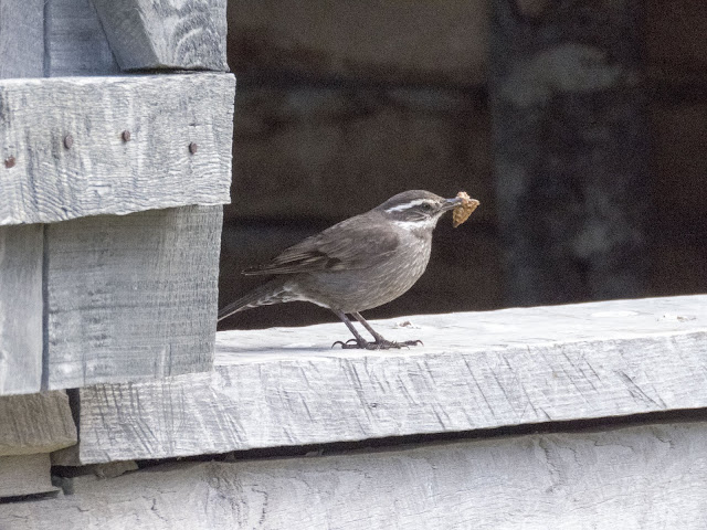 Birds of Patagonia: seaside cinclodes with a bit of food in its mouth