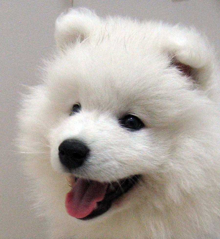 Cute Chow Chow Wallpapers Samoyed Puppies Wallpapers Free