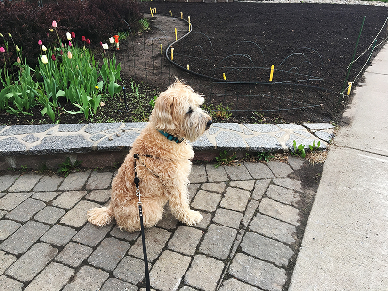 Wheaten terrier in front of newly marked lawn and flower bed.