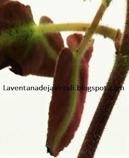 hojas-begonia-listada