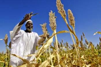 Un contadino africano che raccoglie del grano