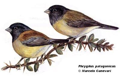 Comesebo patagónico Phrygilus patagonicus