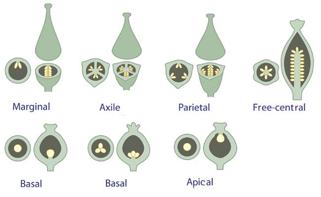 Tipe-tipe plasenta buah