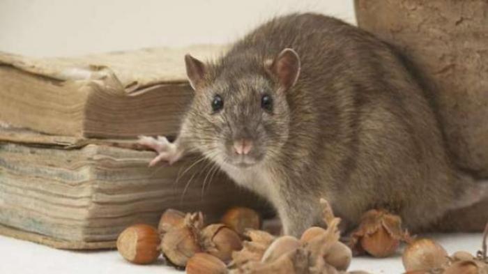 Inilah Cara Mudah Mengusir Tikus Dari Rumah Dengan Daun Sirsak