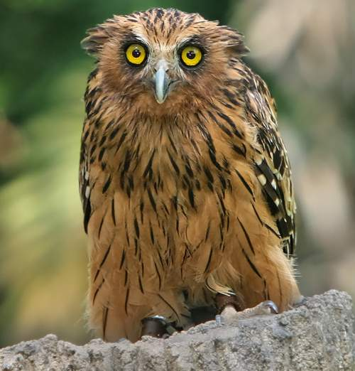 Indian birds - Picture of Buffy fish owl - Ketupa ketupu