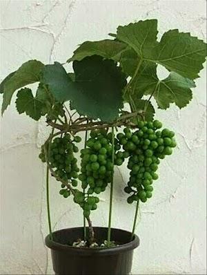 Cara Mudah Merawat Anggur Dalam Pot