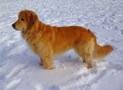 Golden retriever American type