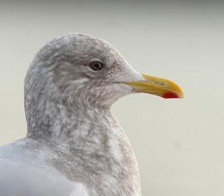 Kumlien's Gull head shot