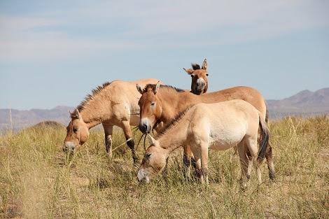 Une étude génomique remet en question les origines des chevaux domestiques