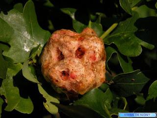 Galle pomme de chêne. Agent pathogène : Biorhiza pallida