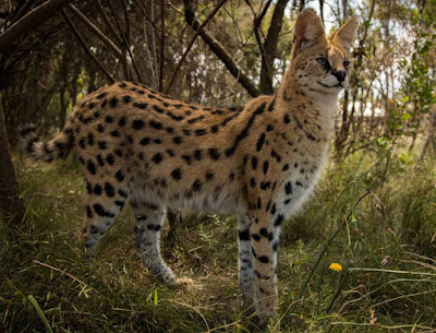 Serval - names animal with letter S