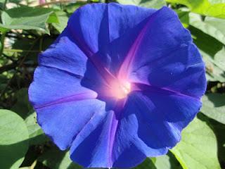 Campanilla azul (Convolvulus)