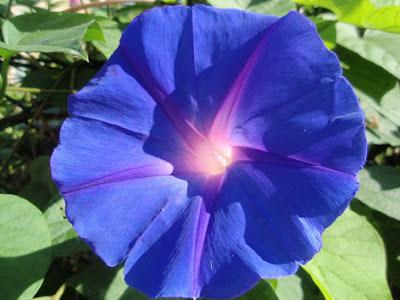 Campanilla azul (Convolvulus)flor silvestre azul