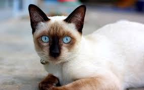 Panduan Mengenal dan Memelihara Kucing Siam