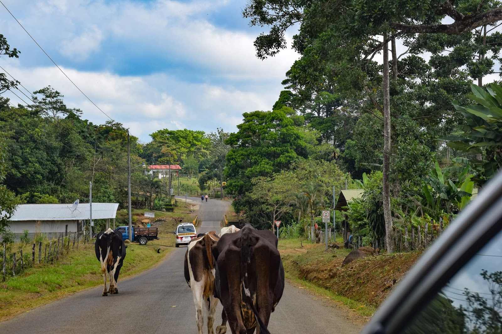 cows on the road to rio celeste waterfall