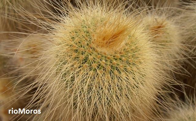 Notocactus Parodia leninghausii