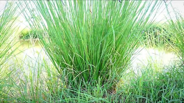 ปลูกหญ้าอะไรดี