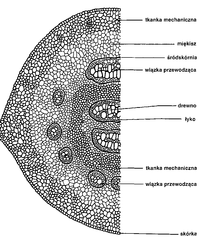 Biologia Ogolna Rosliny Paprociowe