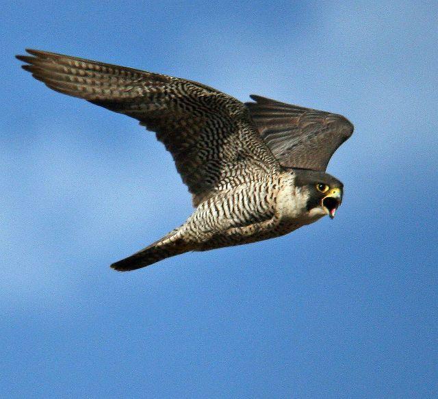 peregrine falcon diet