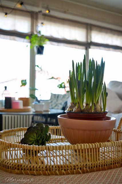 kevät helmihyasintti olohuoneen sisutus kevään odotus jysk ikea