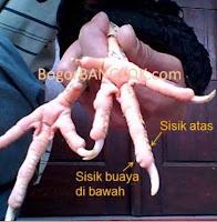 ayam tarung katuranggan sisik buaya lawan ayam tunggal