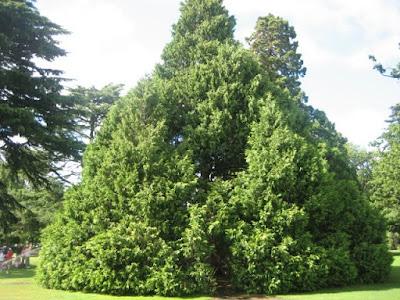 Pohon Gharqad Pohon Akhir Zaman Yahudi
