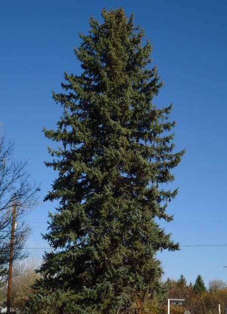 Nature Abhors A Garden Pi 241 On Juniper Belt