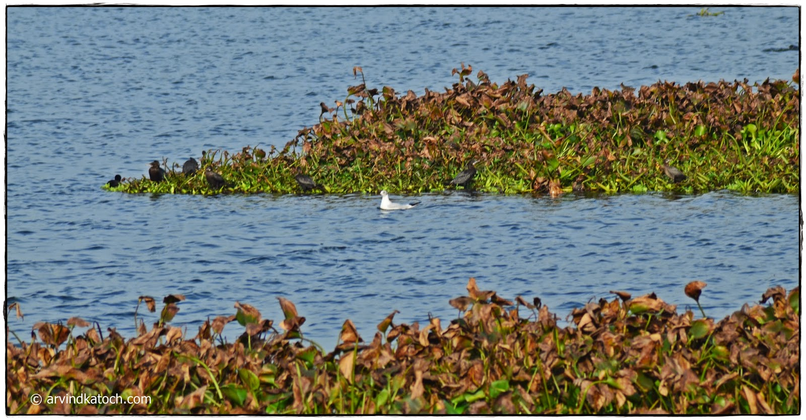 Waterbirds, Harike, Wetland, Punjab