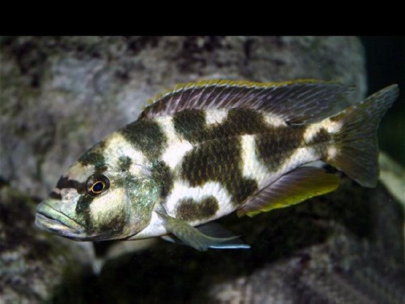 Gambar jenis jenis ikan cichlid ( Malawi Cichlids ) - Livingstoni Cichlid ( Nimbochromis livingstonii )