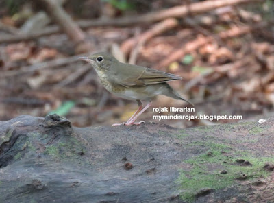 Siberian Blue Robin (Female) in Bidadari