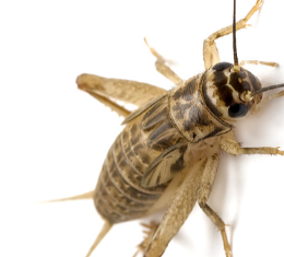 A 'sweet' mollases trap Super Easy Home Remedies To Get Rid of Crickets From Your Home (How to Kill Methods)