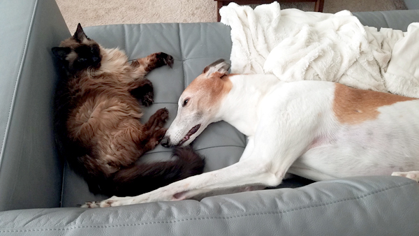 image of Matilda and Dudley the Greyhound lying on the couch together