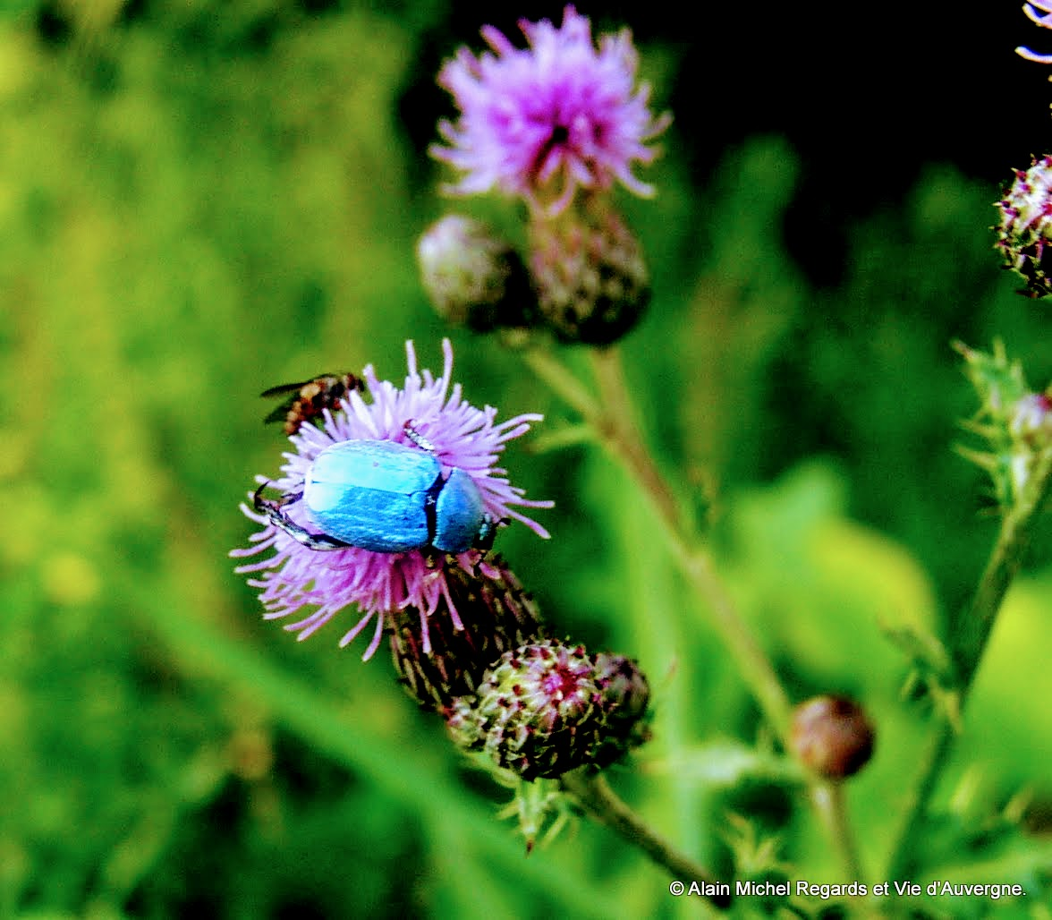 insecte Hoplie bleu,