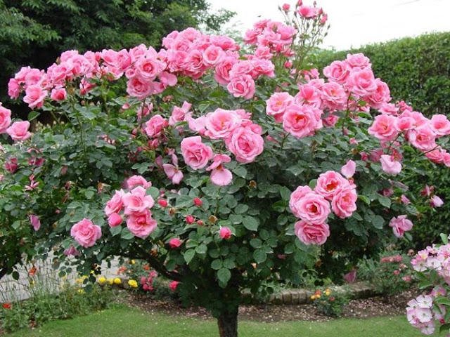 Nội, ngoại thất: Tree Rose- Hoa Hồng đẹp cho 1 diện tích khiêm tốn. Hoa-hong-tree-rose-gia-dat-bong-tay-co-gi-la-hinh-5