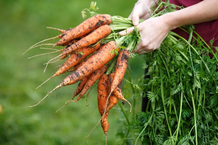 Zanahoria Lo Que Hay Que Saber La zanahoria parece ser una de las hortalizas mas conocidas de la antigüedad. zanahoria lo que hay que saber