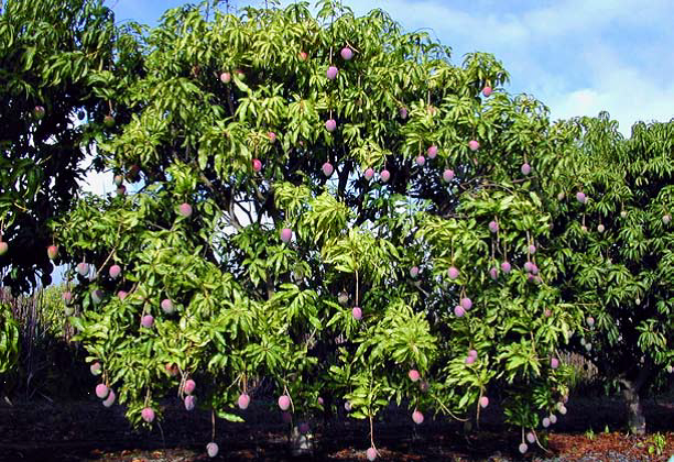 Mengenal Tumbuhan Mangifera