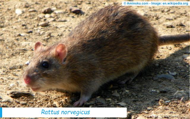 Fakta unik tentang tikus coklat