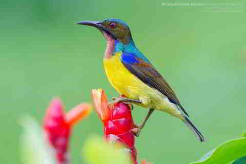 3 Jenis Kolibri Kelapa Paling Terkenal Di Indonesia