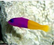 Ikan Hias Air Laut Pseudochromis