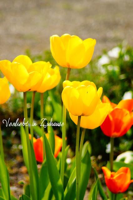 Blumen, Blüten, Tulpen im Frühling