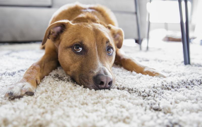 modern shag carpet is known as frieze carpet