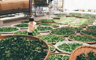 chá verde termogénico para perder peso