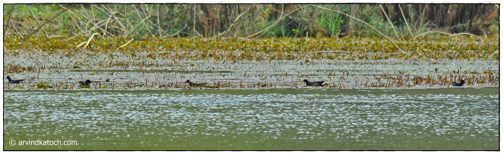 Common Moorhens, Group,