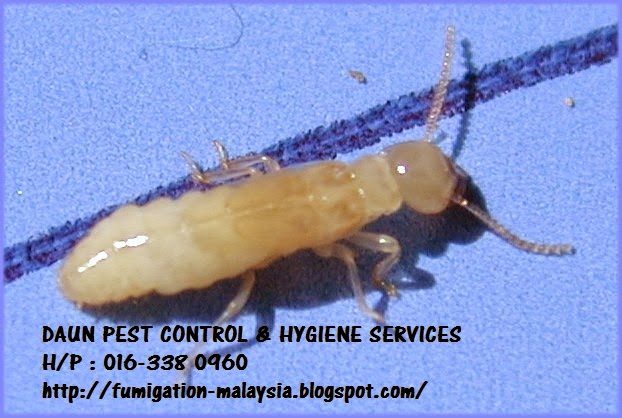Daun Pest Control And Hygiene Services Kenali Anai Anai